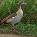 Small photo of Egyptian Goose (Alopochen aegyptiaca)