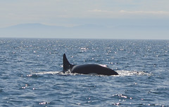 animal, marine mammal, sea, ocean, short-beaked common dolphin, killer whale, whales, dolphins, and porpoises,