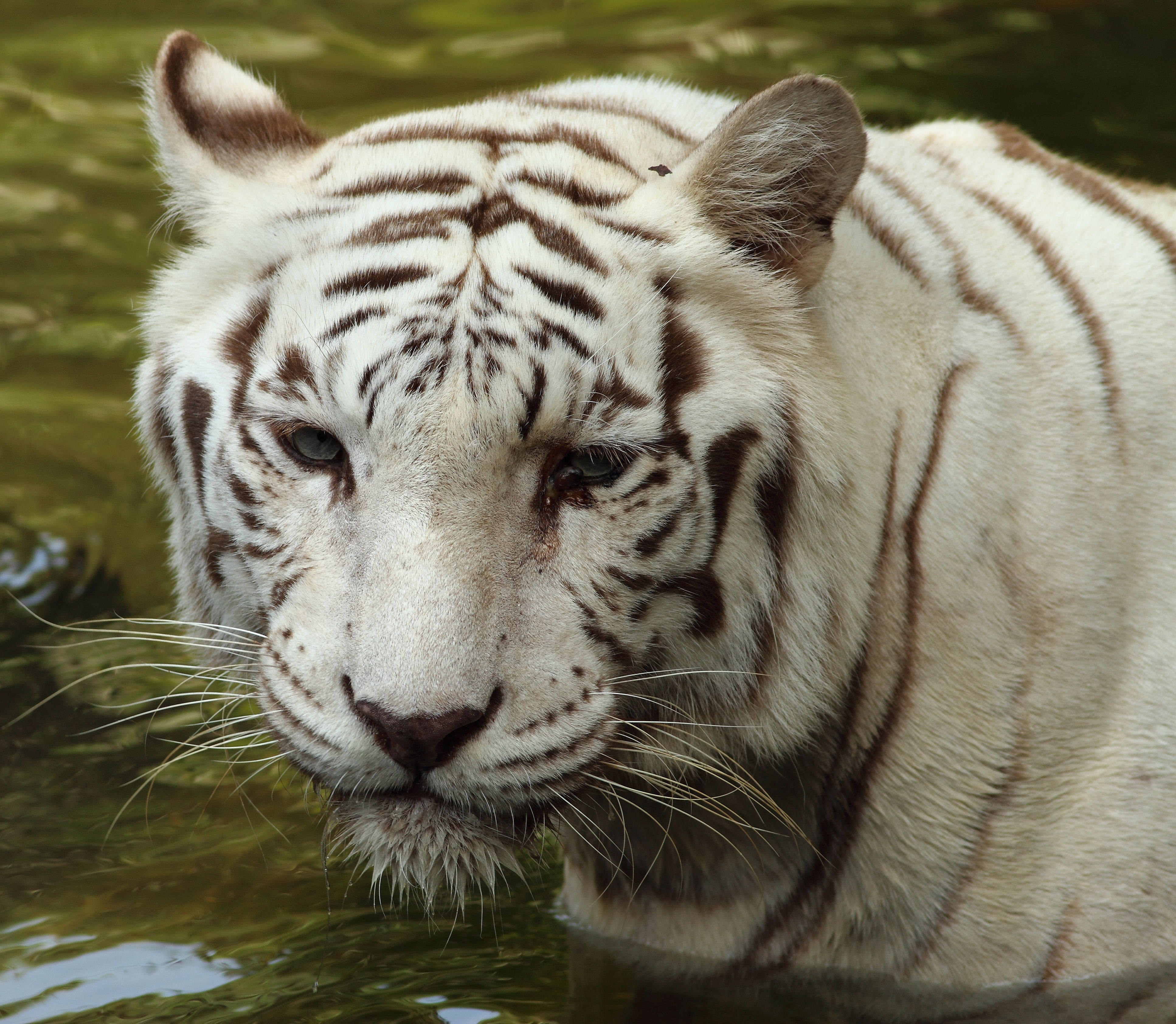 Zoologist With White Tiger White tiger - white bengal tiger  1  newer    Zoologist With Tiger