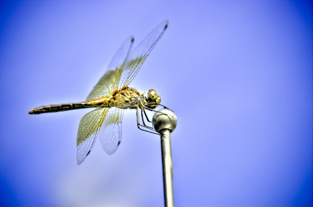 [dragonfly]