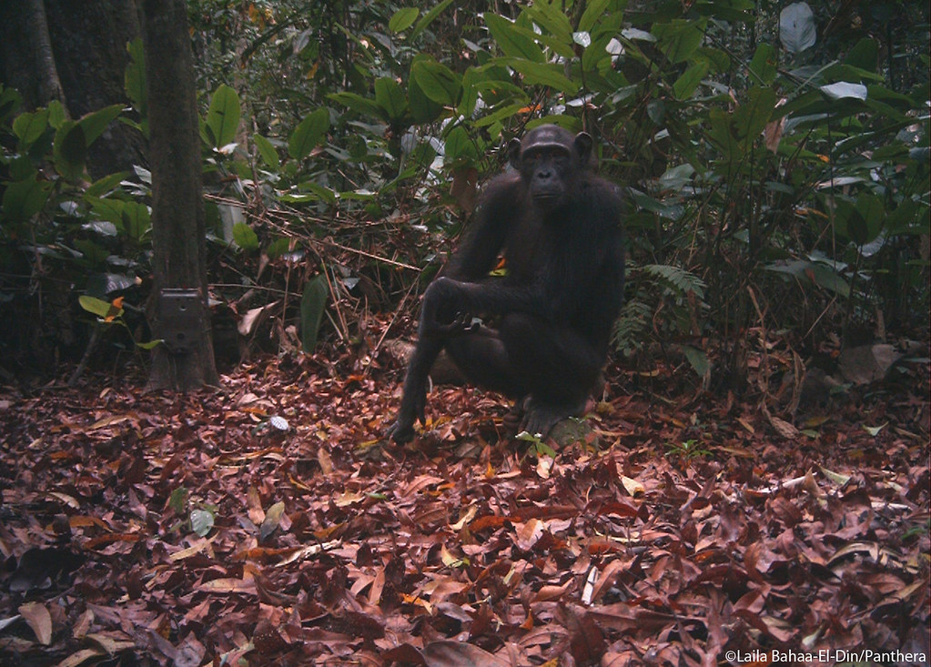 Chimpanzee sitting on a root & inspecting Panthera's camera trap