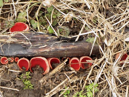 Саркосцифа австрийская, или «алая эльфова чаша» — вид сумчатых грибов рода Саркосцифа. Малоизвестный, съедобный гриб низкого качества. Мякоть Саркосцифы австрийской хрящеватая и немного жестковатая на вкус. Википедия Photo by Kari Pihlaviita on Flickr Автор фото: Kari Pihlaviita