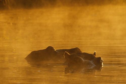 mist sunrise southafrica golden glow hippo kruger lakepanic steveproctor stproc