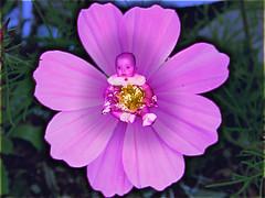 blossom(0.0), annual plant(1.0), flower(1.0), garden cosmos(1.0), plant(1.0), macro photography(1.0), wildflower(1.0), flora(1.0), cosmos(1.0), pink(1.0), petal(1.0),