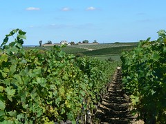 Wine grapes of the Medoc (France 2011) - Photo of Prignac-en-Médoc