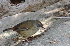 cinclidae(0.0), branch(0.0), junco(0.0), brambling(0.0), wren(1.0), animal(1.0), sparrow(1.0), fauna(1.0), emberizidae(1.0), beak(1.0), house sparrow(1.0), bird(1.0), wildlife(1.0),