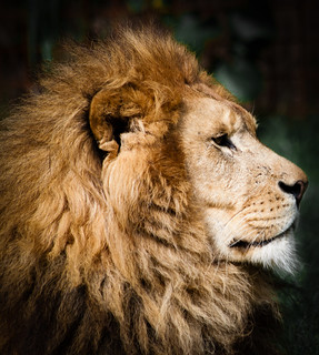 Lion's portrait...