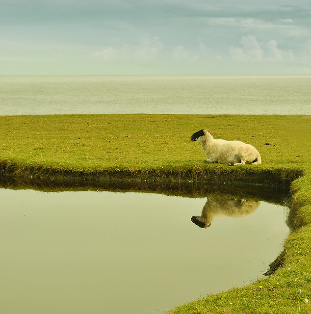 Sheep In Contemplation