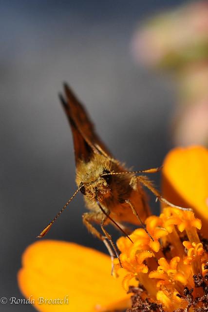 Moth on a Zinnia Blossom