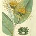 Svensk botanik. v.1.