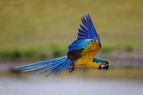 Golden Macaw.