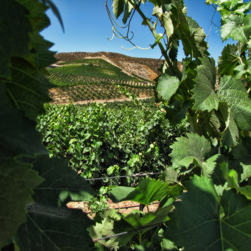 california vineyard vines peggy temecula grape ©allrightsreserved ©peggyhughes