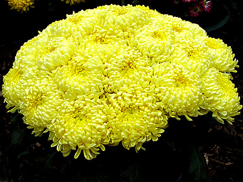 aa Misty Lemon Chrysanthemums,Chrysanthemum Stall, Wisley Flower Show 8 9 11.  IMG_5070 by dvorahuk
