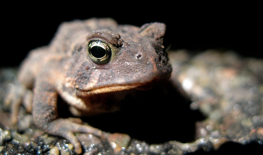 North american toads