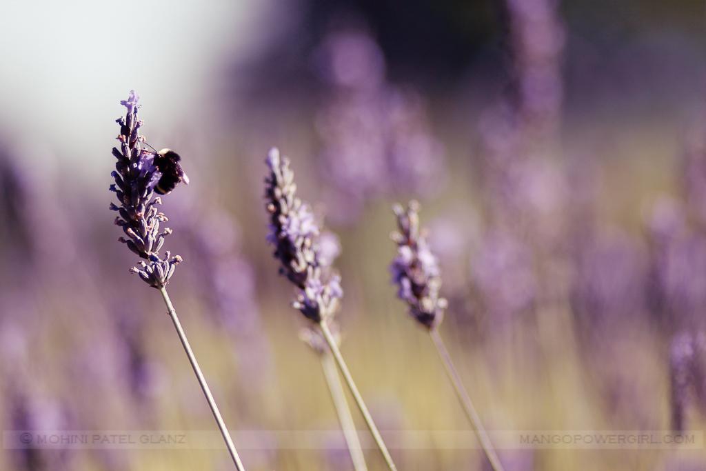 lavender hill farm 4