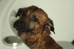 dog breed, animal, puppy, dog, pet, norfolk terrier, glen of imaal terrier, mammal, border terrier,