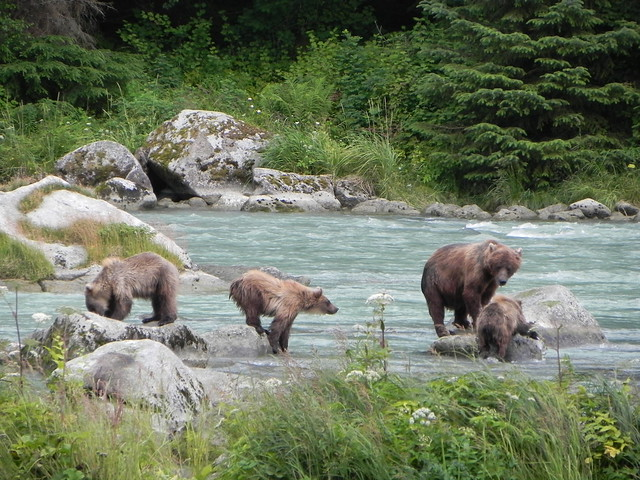 Family of Grizzly bears in Alaska