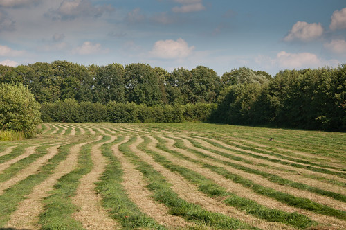 Gras wachtend op de oogst - Grass in rows waiting for harvesting