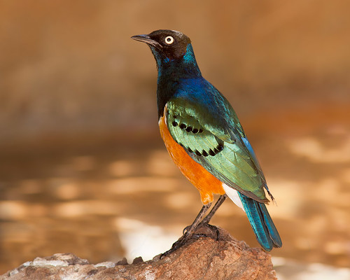 Exotic Birds - Superb Starling