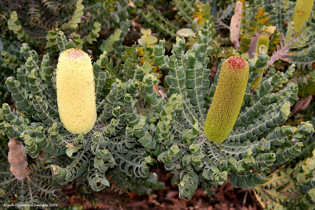 Banksia grandis  - Bull Banksia (Coastal Shrub Form)