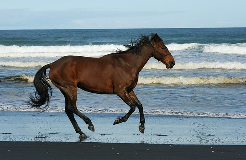 Free running horse on Muriwai
