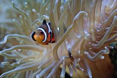 animal, anemone fish, fish, organism, marine biology, macro photography, fauna, close-up, underwater, sea anemone,