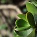 Small photo of Planta Carnosa