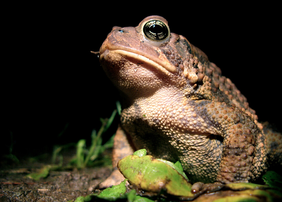Cane toad  Wikipedia