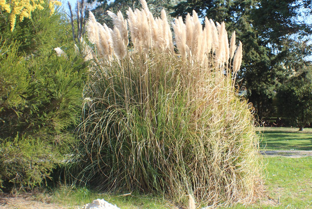 cortaderia selloana pampas grass cultivated flickr. Black Bedroom Furniture Sets. Home Design Ideas