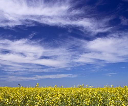 summer canada field nikon manitoba stonewall prairies canola rapefield colorphotoaward nikonflickraward d3100