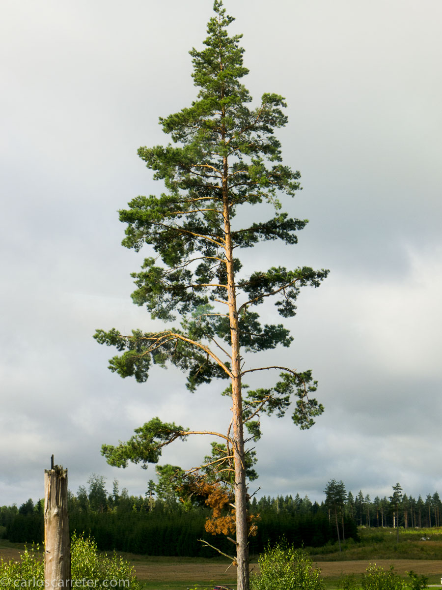 Árbol (entre Estocolmo y Gotemburgo)