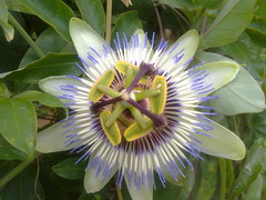 giant granadilla(0.0), wildflower(0.0), flower(1.0), purple passionflower(1.0), plant(1.0), flora(1.0), passion fruit(1.0),