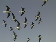 animal migration, animal, duck, wing, fauna, flock, bird migration, bird, flight,