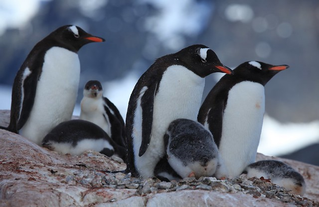 Gentoo Penguins with chicks at Jougla Point, Antarctica