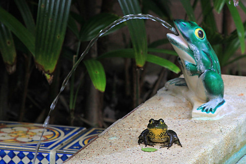 cute water pond funny amphibian frog antics waterfeature boktowergardens frogwaterfeature