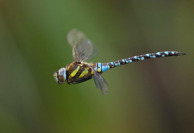 Migrant hawker in flight 2