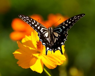 swallowtail on sulfur cosmos
