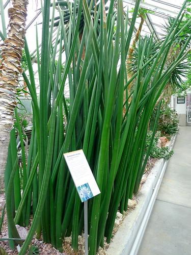 Domestic Happenings: Plant Profile: Snake Plant/Sansevieria species