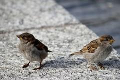ortolan bunting(0.0), finch(0.0), lark(0.0), wildlife(0.0), animal(1.0), sparrow(1.0), fauna(1.0), emberizidae(1.0), beak(1.0), house sparrow(1.0), bird(1.0),