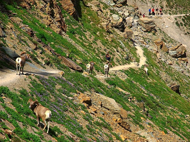 IMG_7283 Bighorn Sheep on Grinnell Glacier Viewpoint Trail