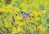 Buckeye Butterfly.  Photo © Flickr User: Ashley Harrigan.