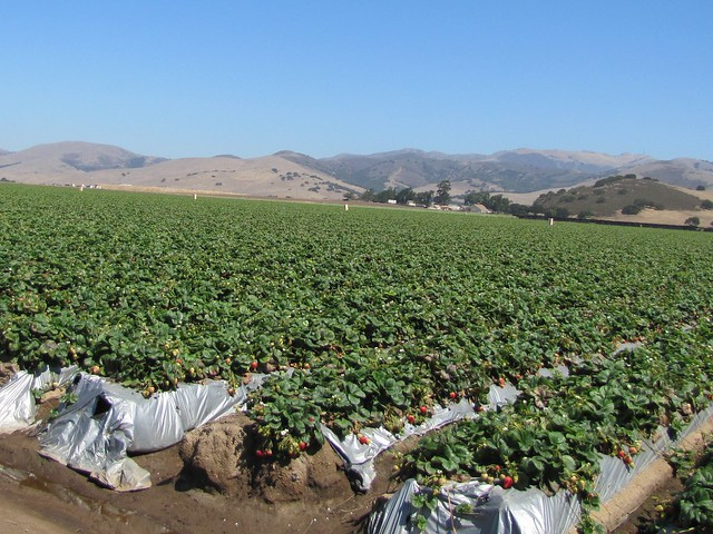 Strawberry Field in Salinas Valley