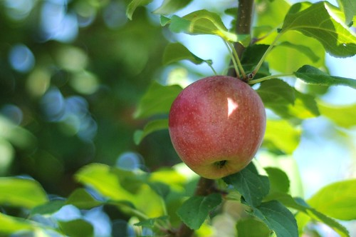 """Surely the apple is the noblest of fruits."" -- Henry David Thoreau"
