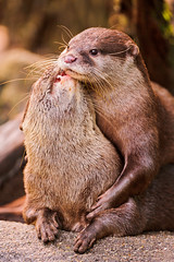 [Free Images] Animals (Mammals), Mammals (Others), Otters, Animals - Couple, Kiss ID:201303181000