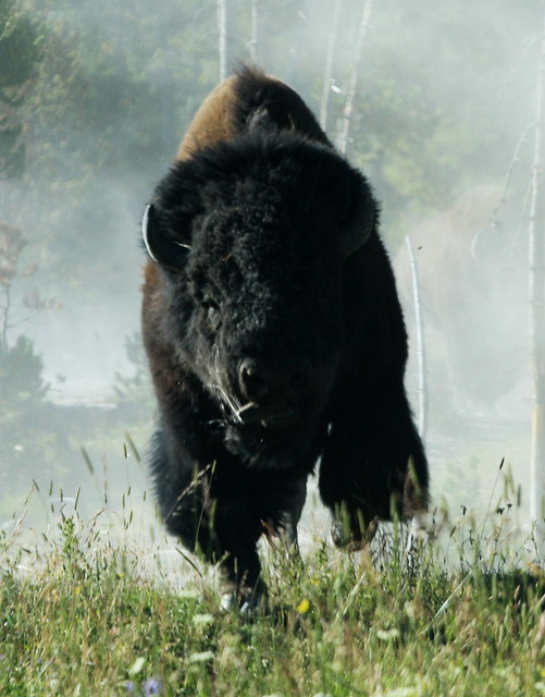 Bison Charging Charging Bison by rarefruitfan