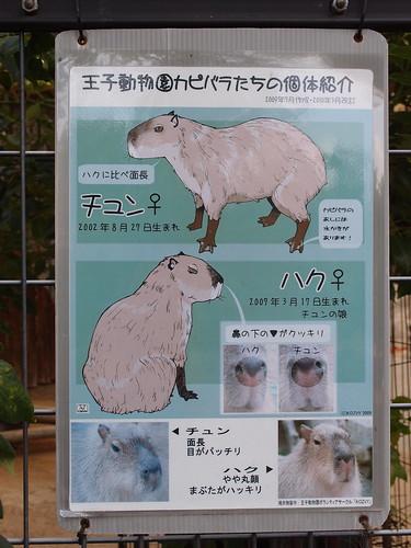 チュンさんとハクさんの見分け方/Identification tips of Capybara