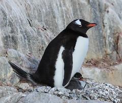 Gentoo Penguin with chick at Jougla Point, Antarctica