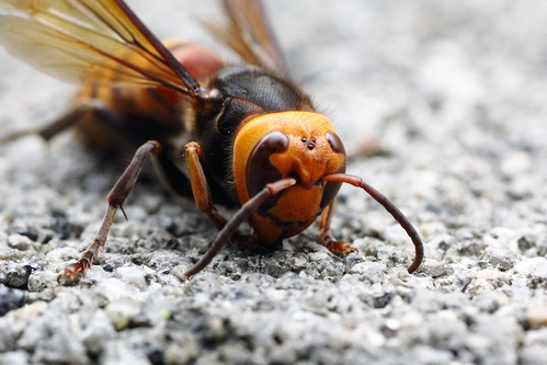 Dead body of Asian Giant Hornet (O-okayama, Tokyo, Japan)