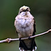 "Female Ruby-throated Hummingbird."" Close and Personal."""