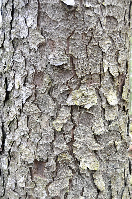 Sitka Spruce bark pattern | Flickr - Photo Sharing!